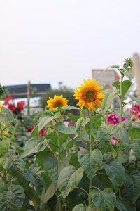 Toko Bunga Holis Bandung - 5 Hal Yang Tidak Pernah Kamu Ketahui Tentang Bunga Matahari